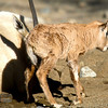One small step for baby Oryx - a big step for the Arab population.