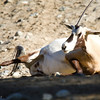 "Oryx female that was pregnant and almost 3 month overdue started to ""act-up"". This morning. This might be it exclaimed one of the Zoo and Botanical Garden's keeper. But not to worry. Oryx in the wild live in very adverse conditions (deserts of Arabian Peninsula) and thus are able to control the time of birth if conditions seem far from perfect. So what she was complaining g about, we wanted to ask, but the spectacle unfolding in front of us was riveting. It was too much to control the camera and lead a meaningful conversation. It's know that men have only enough blood supply to control only one organ at a time, anyway...."