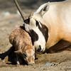 Oryx unite!