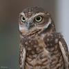 , Burrowing Owl