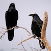 I would tell you if I knew any different.... Common Raven
