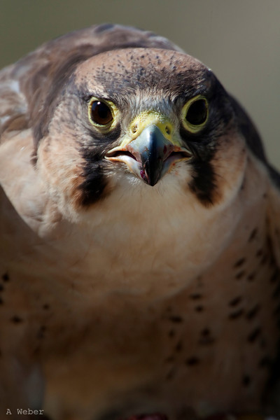 African Falcon