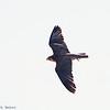 Lanner Falcon <br /> Falco biarmicus African Falcon
