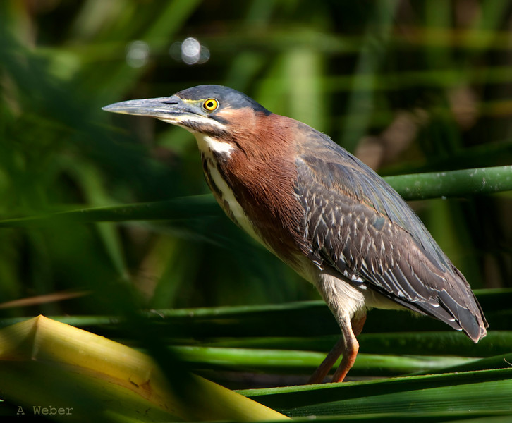 Green Heron<br /> Butorides virescens