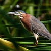 Green Heron<br /> Butorides virescens