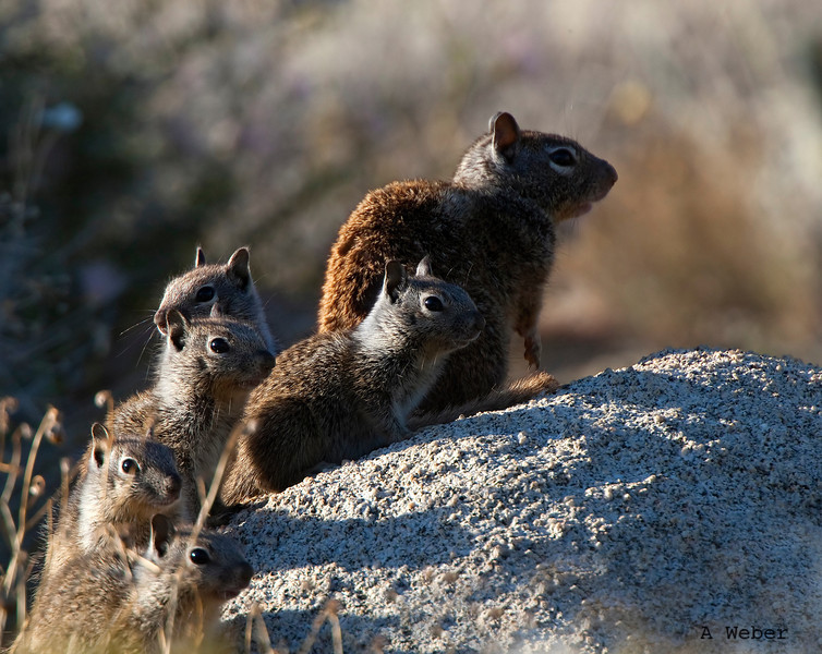 Is everybody accounted for? California Ground Squirrel