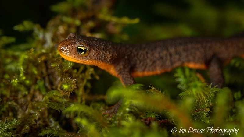 Rough-skinned newt on moss