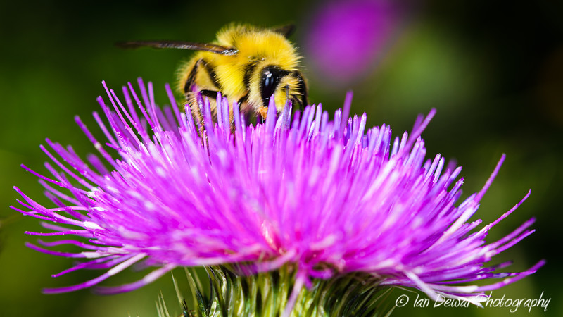 Thistle and the Bee