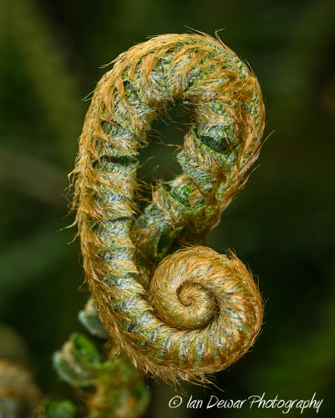 The uncoiling of the fern