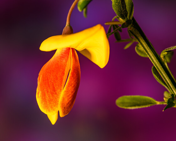 Single flower of broom