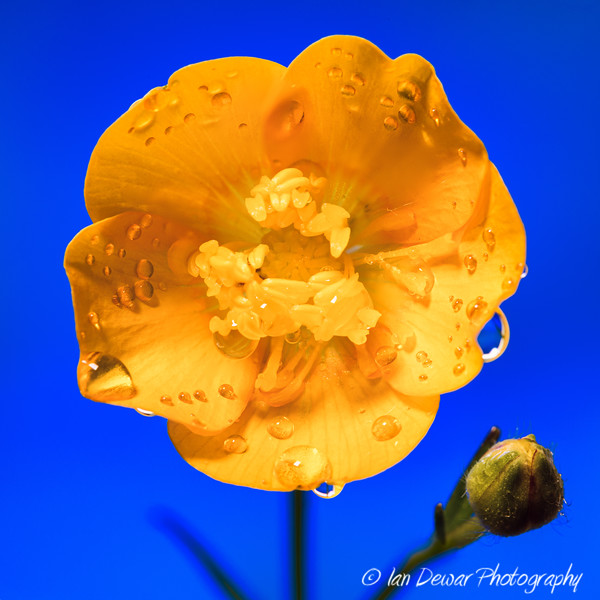 Buttercup on Blue