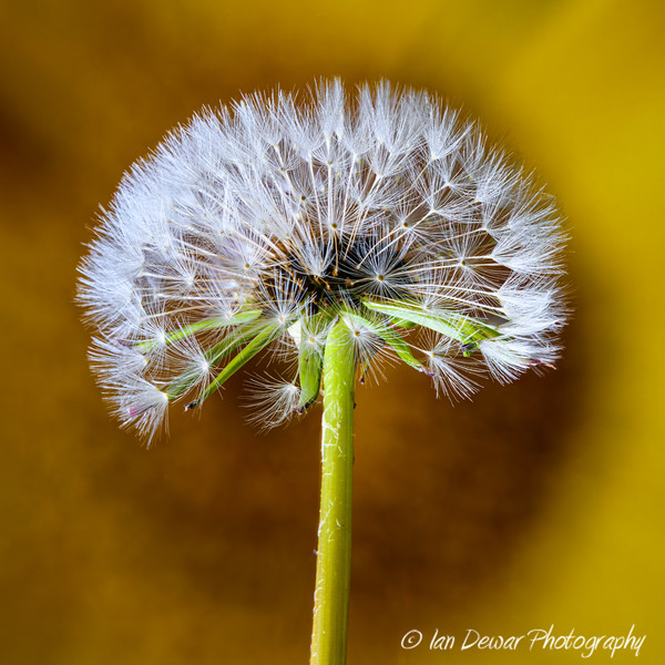 Dandelion Clock in a flower center