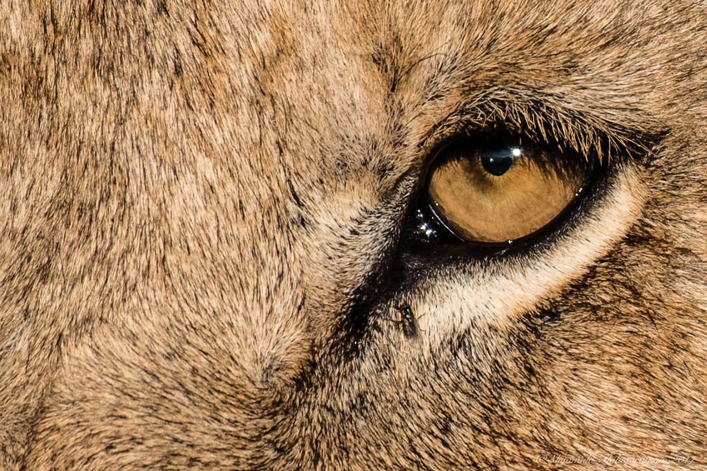 Eye of the ...lioness