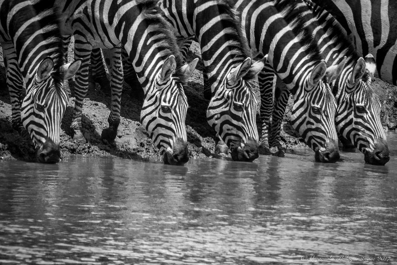 A dazzle of zebras :-)