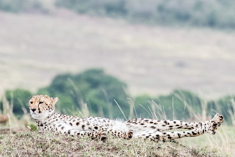 The chilling cheetah