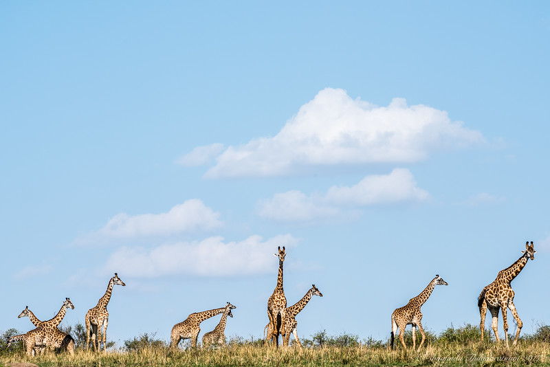 A tower of giraffes :-)