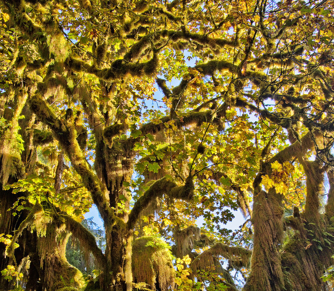 Moss Covered Maple on Hoh Rain Forest Trail - Olympic National Park