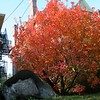 the irrepressible smoke tree