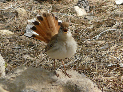 The Dance of the  Rufous Bushchat