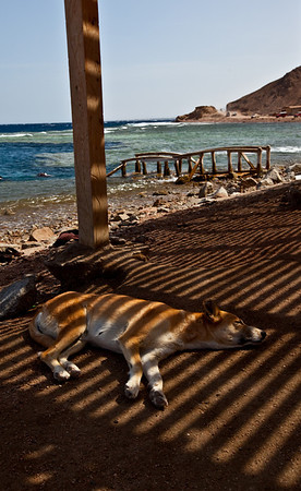 Dog just chilling  Dahab, Egypt
