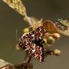 Roodbont heide-uiltje; Anarta myrtilli; Beautiful yellow underwing; Heidekraut-Bunteule; La Noctuelle de la Myrtille