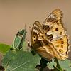 Kleine weerschijnvlinder; Apatura ilia; Lesser Purple Emperor; Kleiner Schillerfalter; Petit mars changeant;