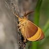 Lasiocampa quercus; Hageheld; Bombyx du chêne; Minime à bandes jaunes; Oak Eggar; Eichenspinner; Quittenvogel;