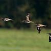 Griel; Burhinus oedicnemus; Eurasian stone-curlew; Eurasian thick-knee; Œdicnème criard; Triel