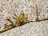090119_8701 Tough living on South Yuba granite 2