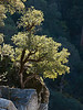 090119_8589 Tree on rock wall of South Yuba River