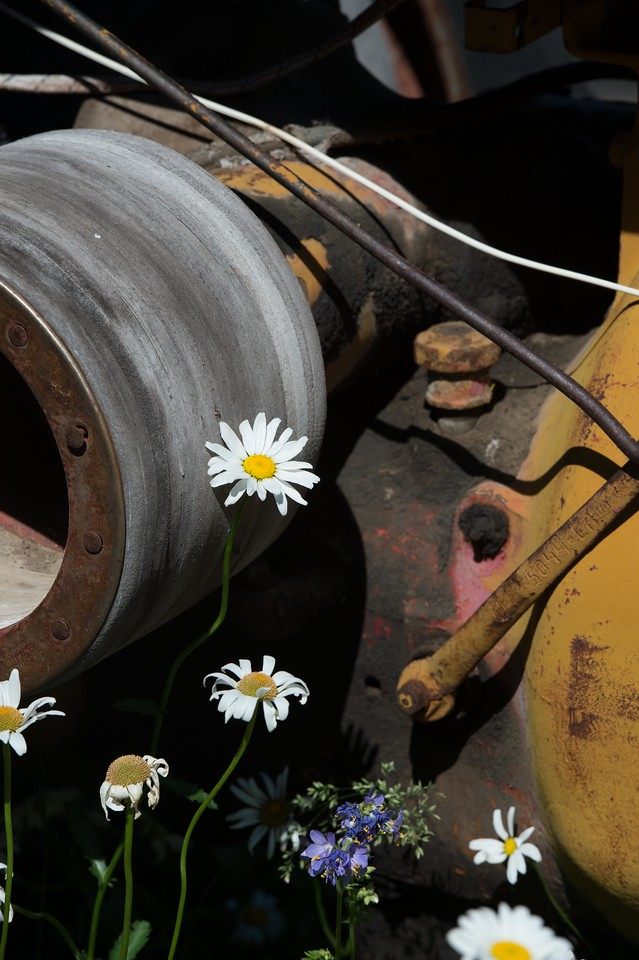 Daisies around an old tractor