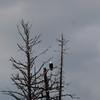 BALD EAGLE AT LAKE MACDONALD