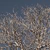 Buckeye Branches