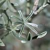 Buckwheat leaf