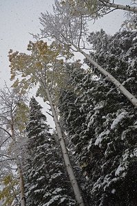 Snowfall on aspens and spruces near Telluride.