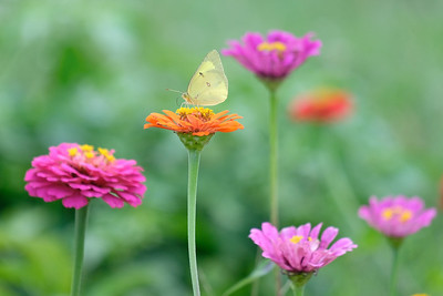 Little Clouded Yellow