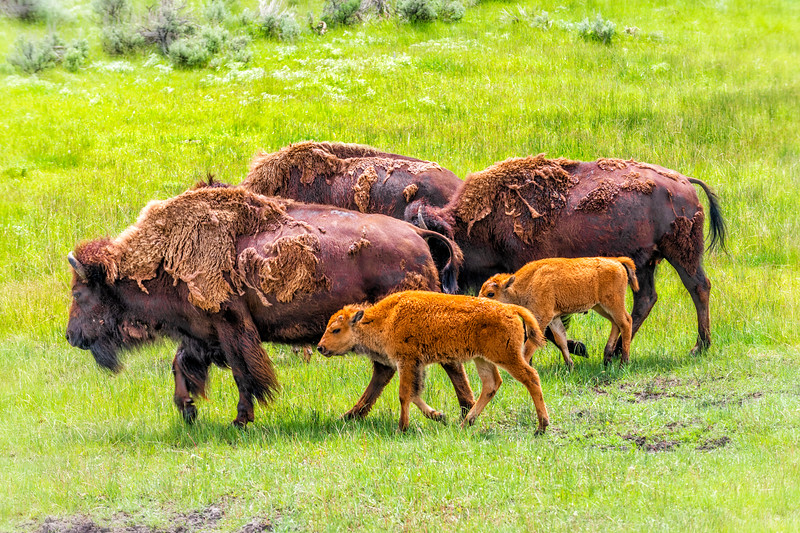 American Bison - Lamar Valley, Yellowstone NP, WY