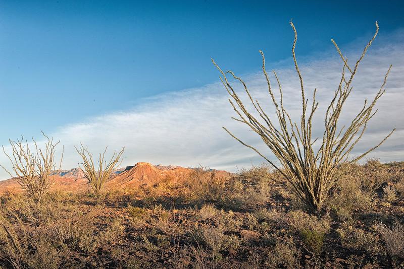 Ocotillo cactus - Fouquieria splendens