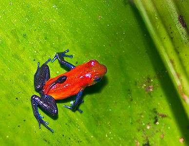 Blue Jeans Frog or Strawberry Poison Dart Frog