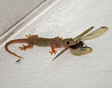 "Gecko ""taking wing"""