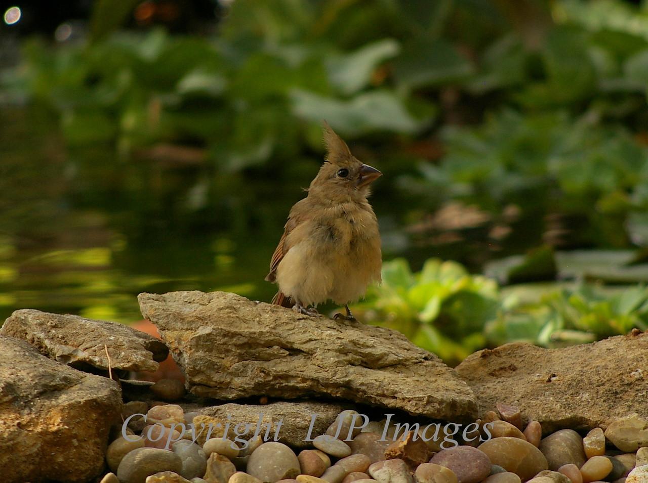 Juvenile female Cardinal
