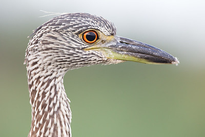 Yellow-crowned Night Heron (Juvenile)