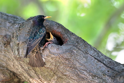 European Starling nesting in a tree hollow.
