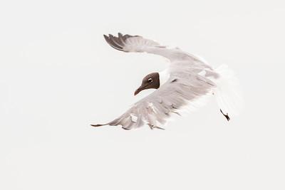 Laughing Gull (Leucophaeus atricilla)