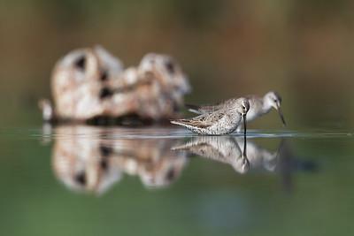 Stilt Sandpiper (Calidris himantopus)