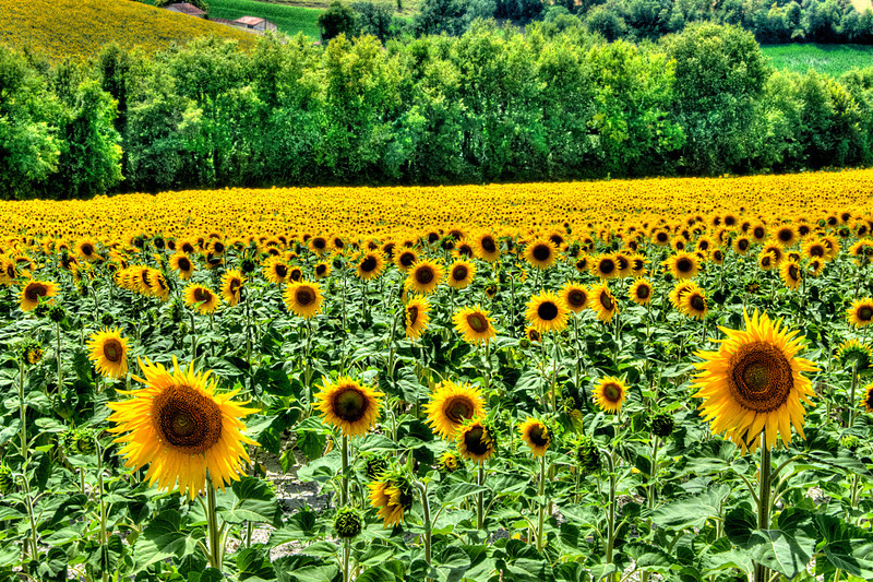 Charent Sunflowers