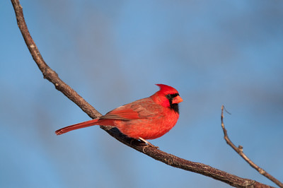 Male Cardinal in Blackacre State Nature Preserve & Historic Homestead