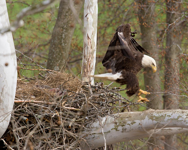 Bald Eagle in mid flight leaving the nest