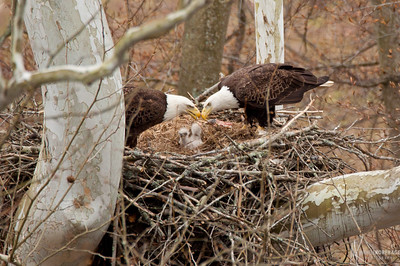 Bald Eagle Pair feeding Eaglets