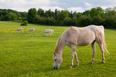 Majestic Horses Grazing